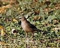 Large Grey Babbler (Turdoides malcolmi) - Flickr - Lip Kee.jpg