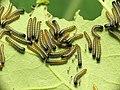 Large White Caterpillars (33441229360).jpg