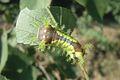 Larva of Monema flavescens flavescens - ZooKeys-306-023-g005-22.jpeg