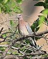 Laughing Dove, India 1 cropped.jpg