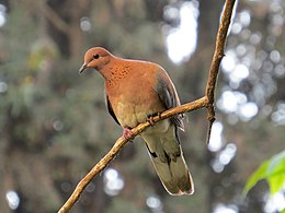Laughing Dove on a branch (Spilopelia senegalensis).JPG
