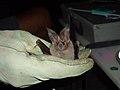 Leaf-nosed bat, Kofa National Wildlife Refuge, AZ (6449998925).jpg