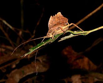 Leaf-mimic katydid - Image: Leaf mimic Katydid (Typophyllum laciniosum), Tambopata Lodge