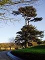 Lebanon cedar at Stouts Hill - geograph.org.uk - 316736.jpg