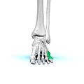 Left Fifth metatarsal bone01 anterior view.png