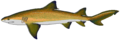 Lemon shark.png