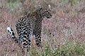 Leopard (28254171025).jpg