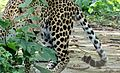 Leopard Khayerbari Dooars.jpg