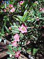 Leptospermum 'Aphrodite'.jpg
