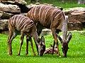 Lesser Kudu Female.jpg