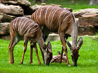 Lesser kudu - Feeding female and juvenile