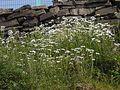 Leucanthemum × superbum (2560634670).jpg