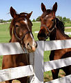 "Lexington Kentucky - Donamire Farm ""We came over here to check you out Dave"" (3570956271) (2).jpg"