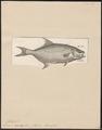 Lichia amia - 1700-1880 - Print - Iconographia Zoologica - Special Collections University of Amsterdam - UBA01 IZ13500453.tif