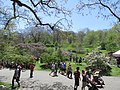 Lilac Sunday view, Arnold Arboretum, Jamaica Plain MA.jpg