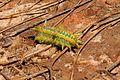 Limacodidae 002.jpg