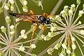 Limerodops.elongatus.-.lindsey.jpg