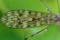 Limonia.nubeculosa9.-.lindsey.jpg