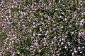 Limonium-vulgare-flowers.JPG