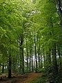 Linacre Beech Wood - geograph.org.uk - 303506.jpg