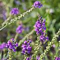Linaria purpurea-IMG 9329.jpg