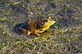Lithobates catesbeianus 3 MP.jpg