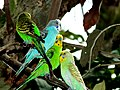 Little Angels BUDGERIGAR.jpg