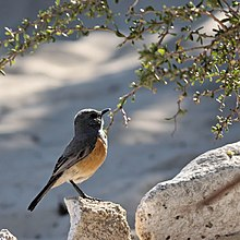 Littoral Rock-Thrush.jpg