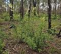 Lomatia silaifolia.jpg