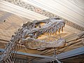 London Natural History Museum - T-Rex skeleton - panoramio.jpg