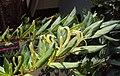 Lonicera japonica 02a.JPG