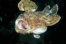Lophius piscatorius RO.jpg