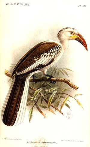 Red-billed hornbill - T. damarensis, illustration by Keulemans, 1892