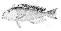 Great northern tilefish, Lopholatilus chamaeleonticeps