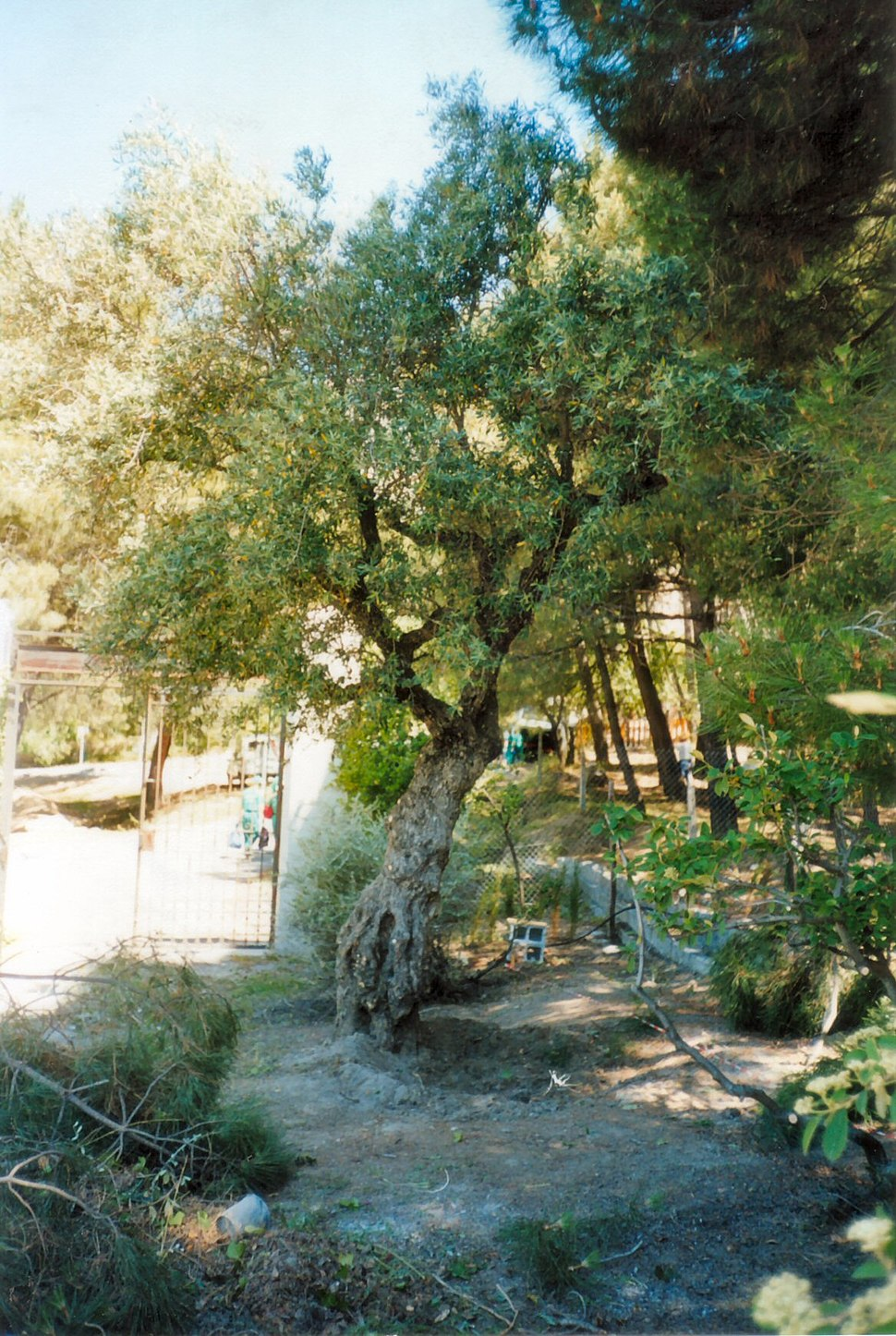 Lorca Olive Tree