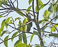 Loriculus pusillus -Java -Indonesia-4.jpg