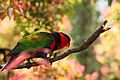 Lorius lory -perching in tree-8.jpg