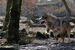 Loup gris commun DSCF1575.jpg