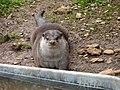 Loutre du zoo de Lunaret (2380293050).jpg