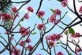 Lovely plumeria flowers (8929523134).jpg