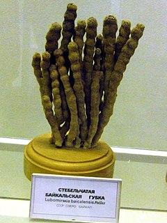 <i>Lubomirskia baicalensis</i> species of sponge