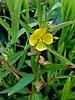 Ludwigia alternifolia - Photo (c) Fritzflohrreynolds,  זכויות יוצרים חלקיות (CC BY-SA)
