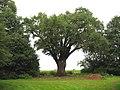 Drakenbloedboom  Wikipedia