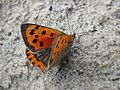 Lycaena phlaeas (Small Copper), Texel, the Netherlands.jpg