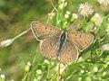 Lycaena tityrus - Sooty copper - Червонец бурый (27142955448).jpg
