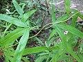 Lygodium circinnatum infertil leaf.jpg