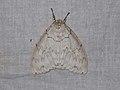 Lymantriinae sp. (39292835060).jpg