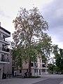 MH-ND46-Platane Rathaus.jpg