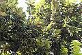 Mabolo Fruit (01) (03-07-2021).jpg