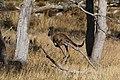Macropus fuliginosus (32663699585).jpg